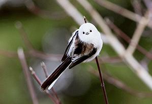 Oiseaux sauvages for Oiseau tete noire et blanche